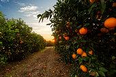 istock Orange tree plantation 1251703149
