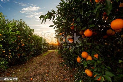 Orange tree plantation