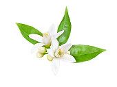 Orange tree white fragrant flowers, buds and leaves isolated on white. Neroli blossom.