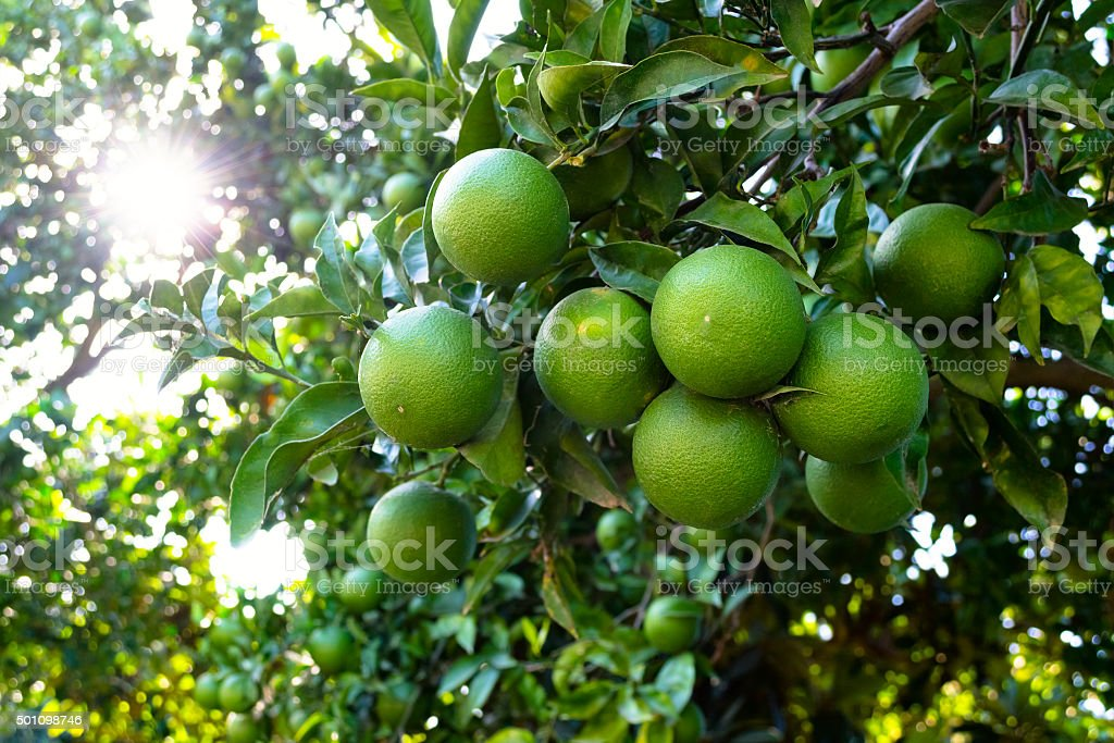Orange tree with unripe fresh oranges. Selective focus stock photo