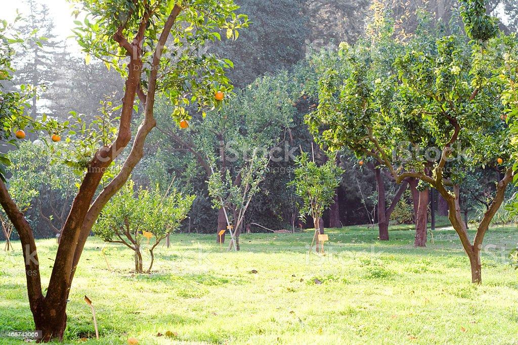 Orange trees (Citrus sinensis) in the botanical garden. stock photo