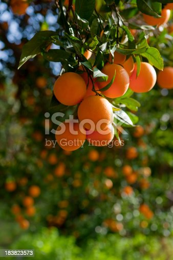 Trees with orange typical in the province of Valencia, Spain