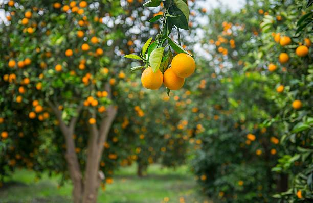 orange trees - fruitboom stockfoto's en -beelden