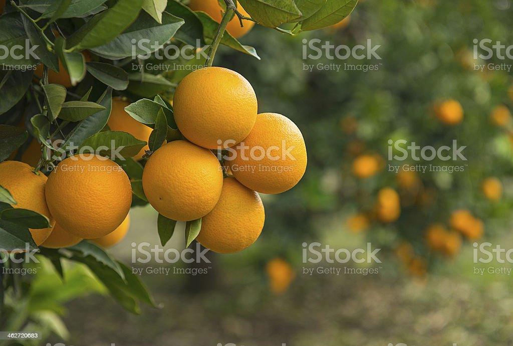 Alberi arancione - foto stock
