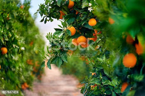 istock Orange trees 657647424