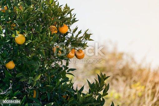Orange trees sky background