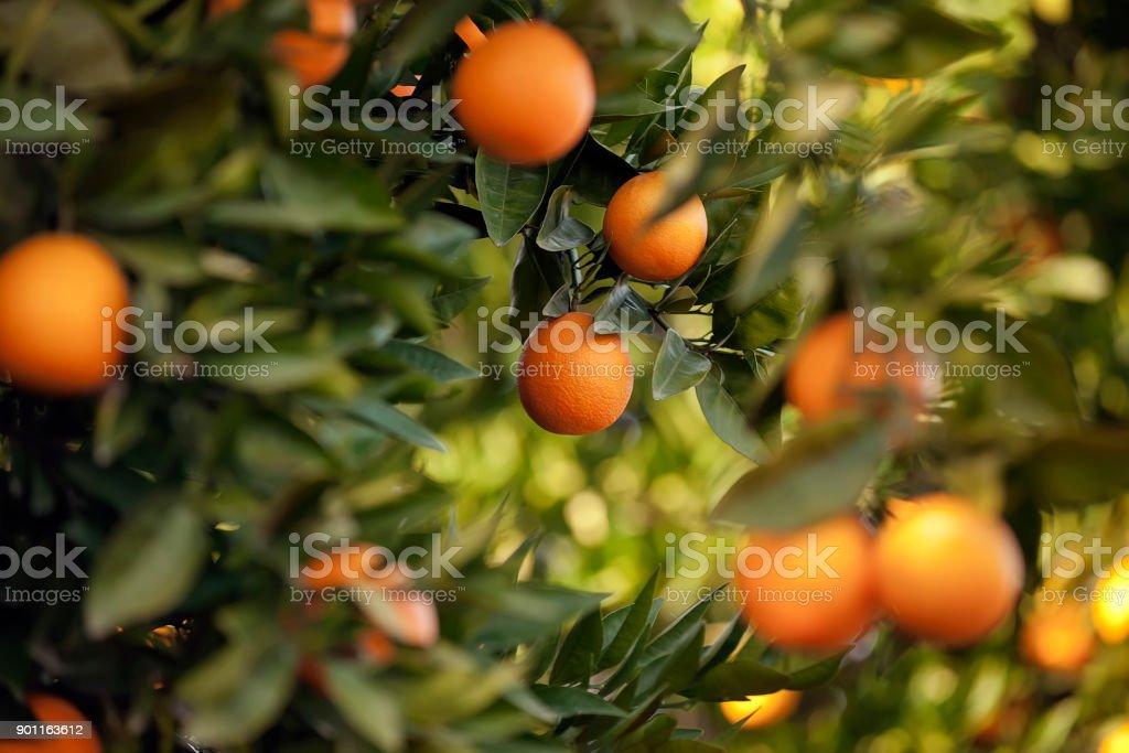 Orange trees - foto stock