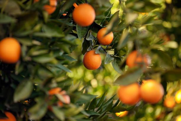 sinaasappelbomen - fruitboom stockfoto's en -beelden