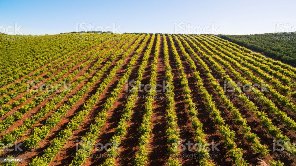 Orange trees plantation at May in Portugal, Algarve, aerial view