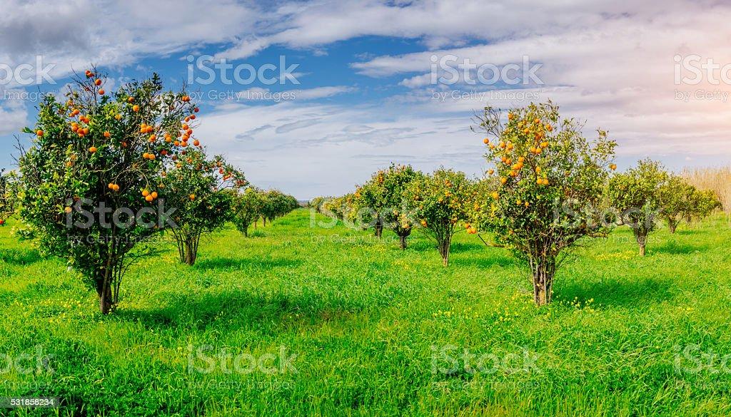 Naranja árboles plantaciones - foto de stock