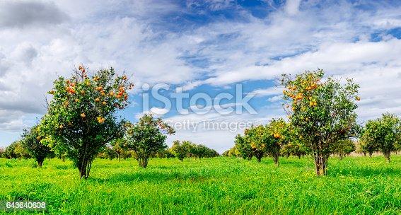 istock orange trees plantations 643640608