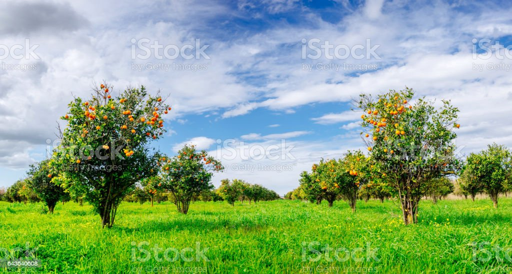orange trees plantations stock photo