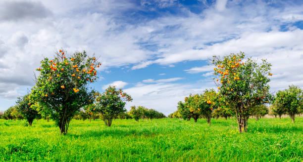 orange bäumen plantagen  - wäldchen stock-fotos und bilder