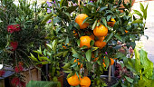 Orange trees presented for sale at market for household design, business