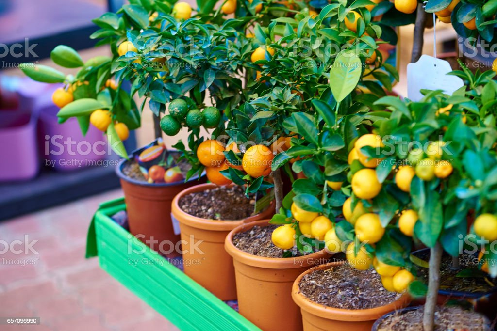 Orange tree-Stock image stock photo
