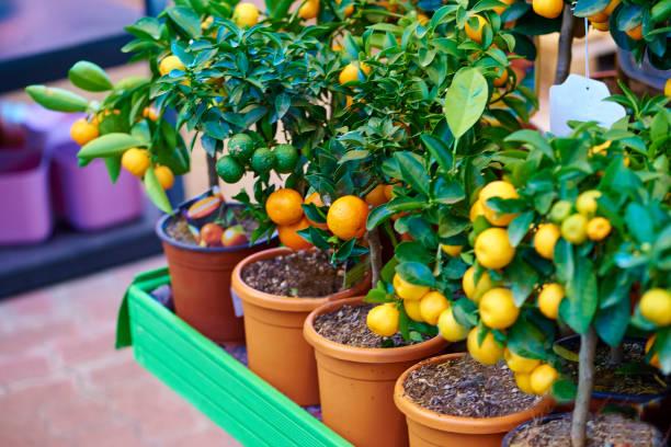oranje boom-stock beeld - fruitboom stockfoto's en -beelden
