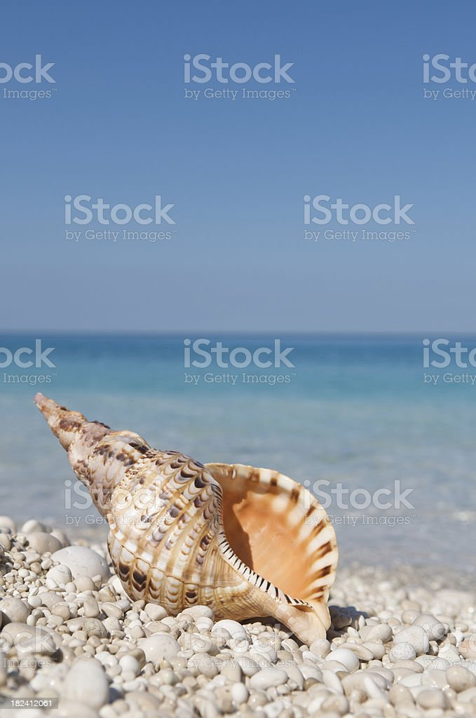Orange Triton Shell on Bright Pebble Beach royalty-free stock photo