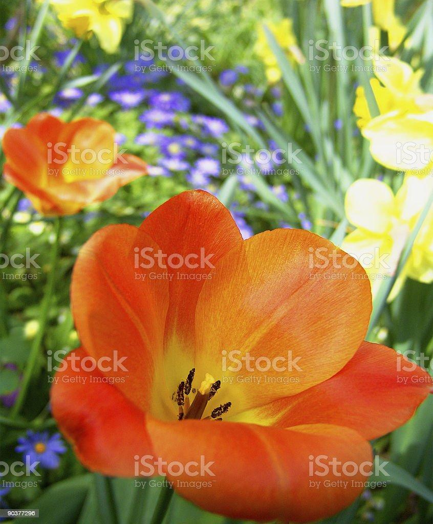 Orange tulip. Close-up. royalty-free stock photo