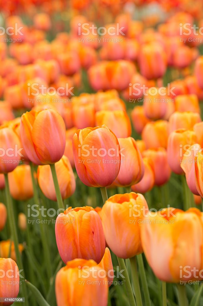 Orange Tulip Field in Spring Vertical stock photo