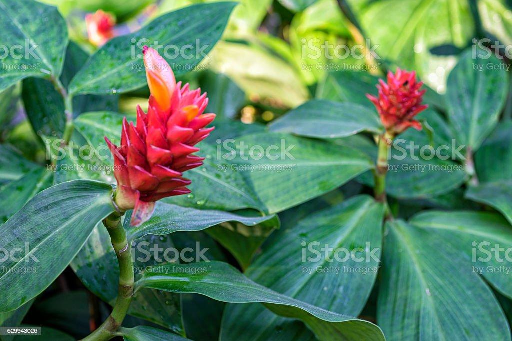 Orange Tulip Ginger flowers stock photo