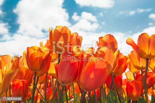 Orange tulips field against blue sky in a sunny day (Netherlands)