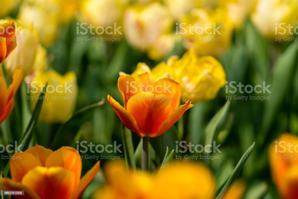 orange tulips bloom at farm under sunlight stock photo