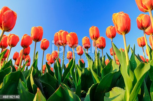 Beautiful close up of orange tulips in the Netherlands in spring against a blue sky