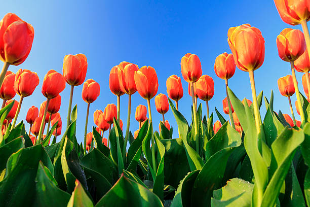 Orange tulips blue sky stock photo