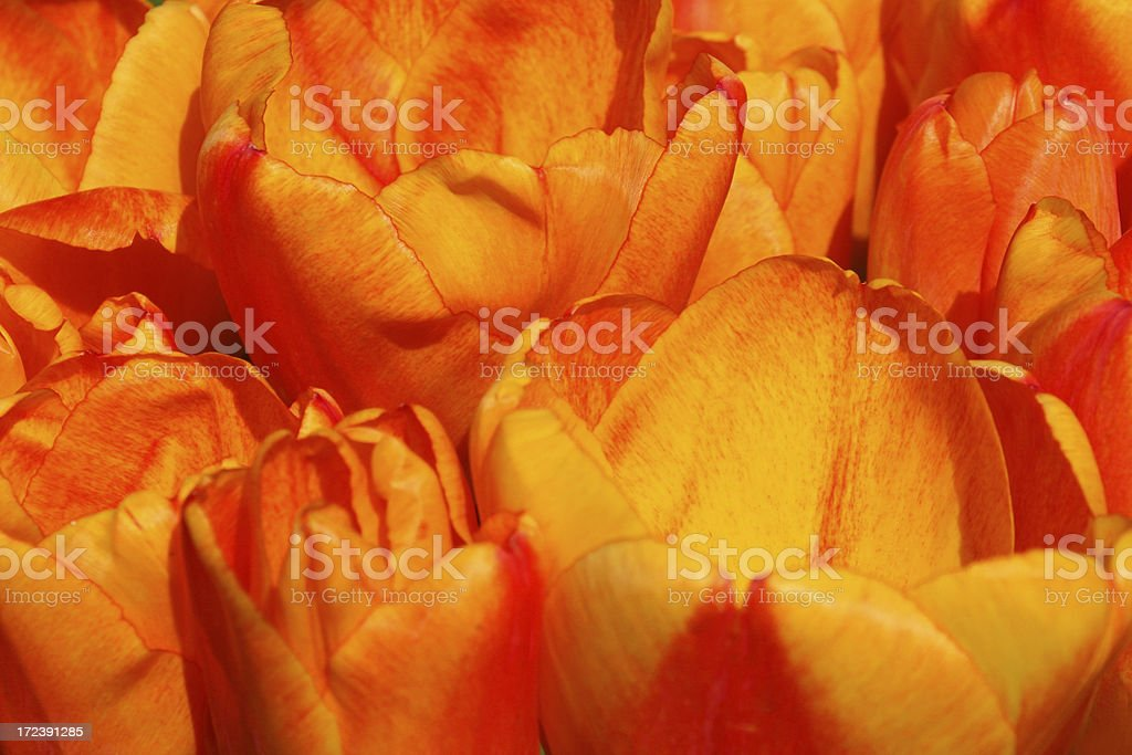 Orange tulips closeup # 2 royalty-free stock photo