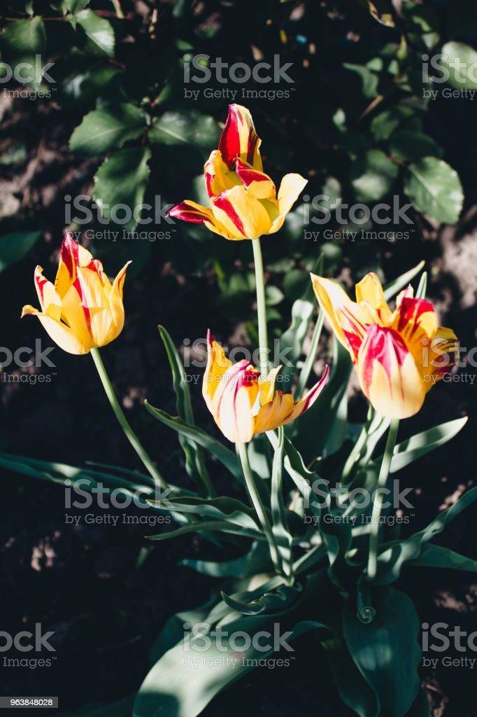 Orange tulips flowers on dark background, flowers in garden - Royalty-free Black Color Stock Photo