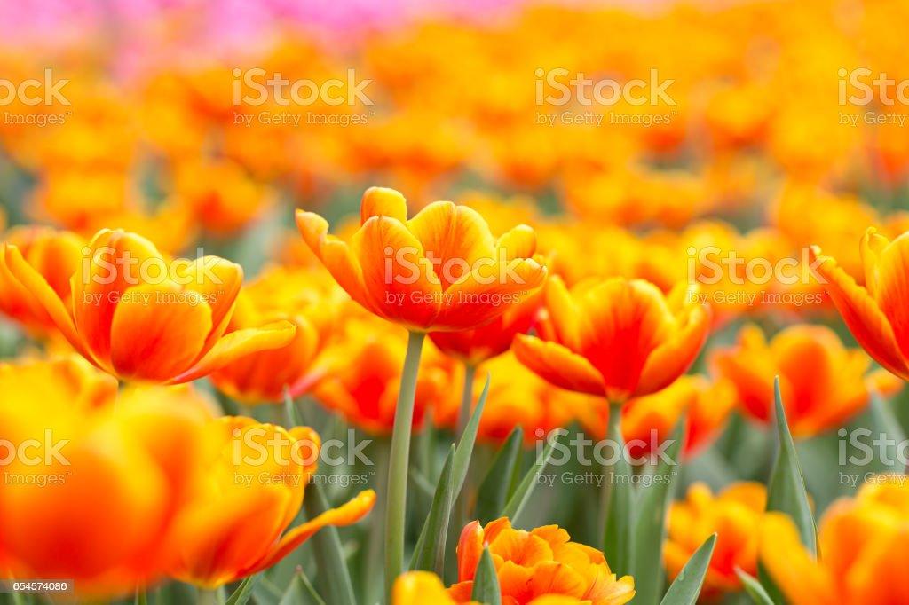 Orange tulips in the spring sunshine – Foto