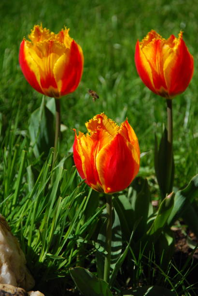 Tulipanes naranjas - foto de stock