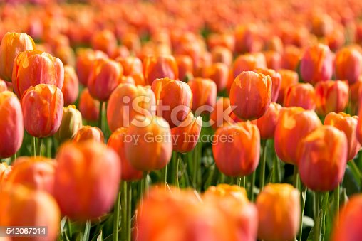 Full frame and selective focus of a field of orange red tulips.
