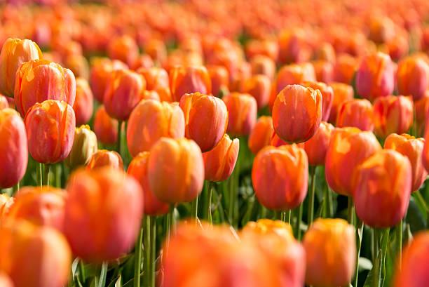 Orange tulips picture id542067014?b=1&k=6&m=542067014&s=612x612&w=0&h=7poowcymfjbletw62z0ul7tjwviianw9hkhq2w71dq0=