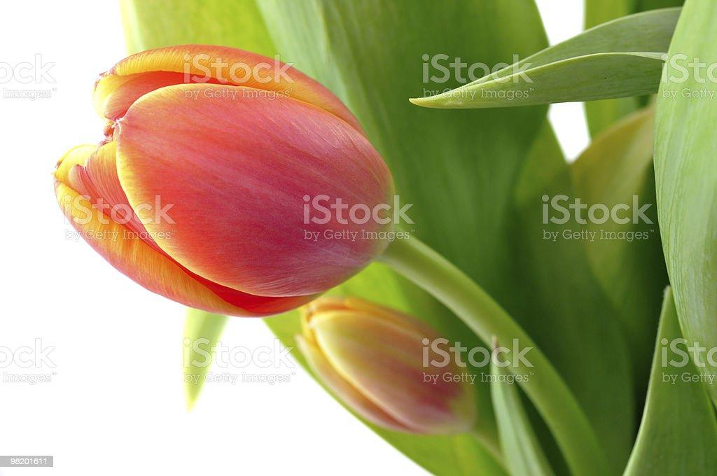 Tulipani arancioni foto stock royalty-free