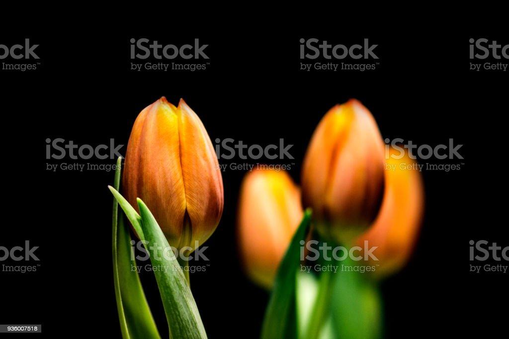 Orange Tulpen ich – Foto