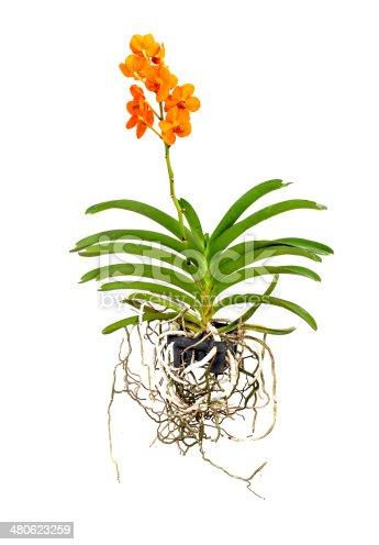Orange Vanda Orchid on a white background.