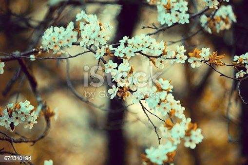 Orange vintage blossom cherry-tree. Spring natural background