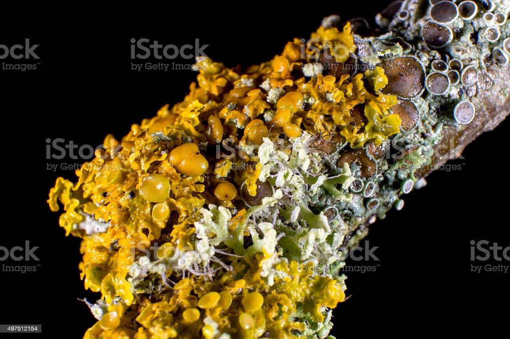 Orange wall lichen macro stock photo