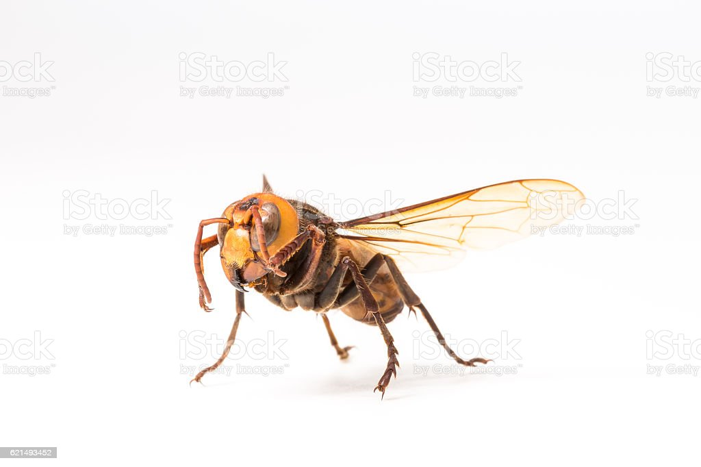 Orange Wasp, Insect foto stock royalty-free