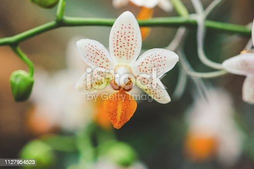 Orange White Cambria Orchid flower