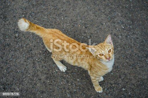 istock Orange Wild Cat 935978726
