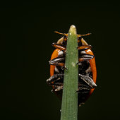 Orange with black spot ladybug walking on up on a plant, almost looks like a reflection on a beautiful black background