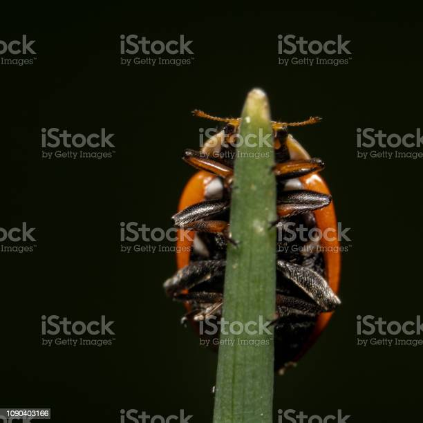 Photo of Orange with black spot ladybug walking on up on a plant, almost looks like a reflection on a beautiful black background