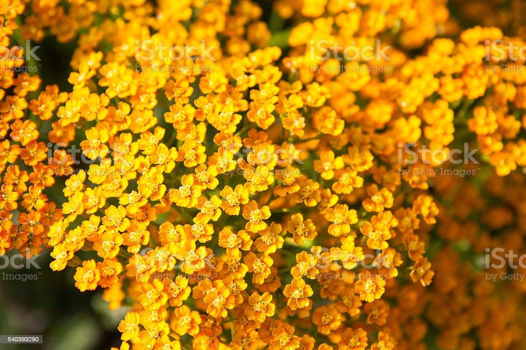 Orange Yarrow stock photo