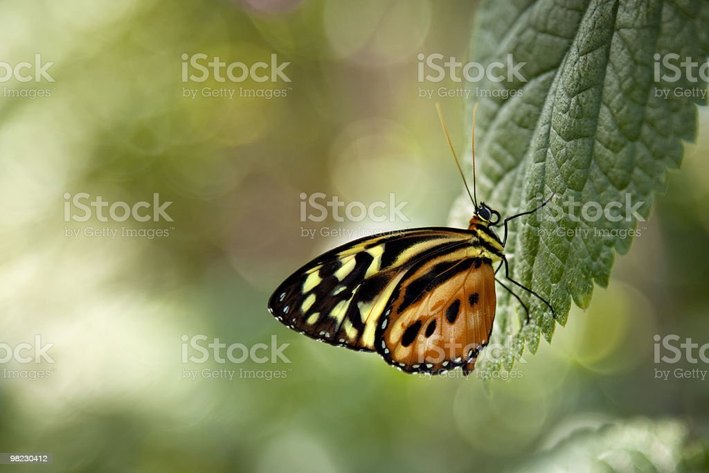 Orange, yellow and black butterfly royalty-free stock photo