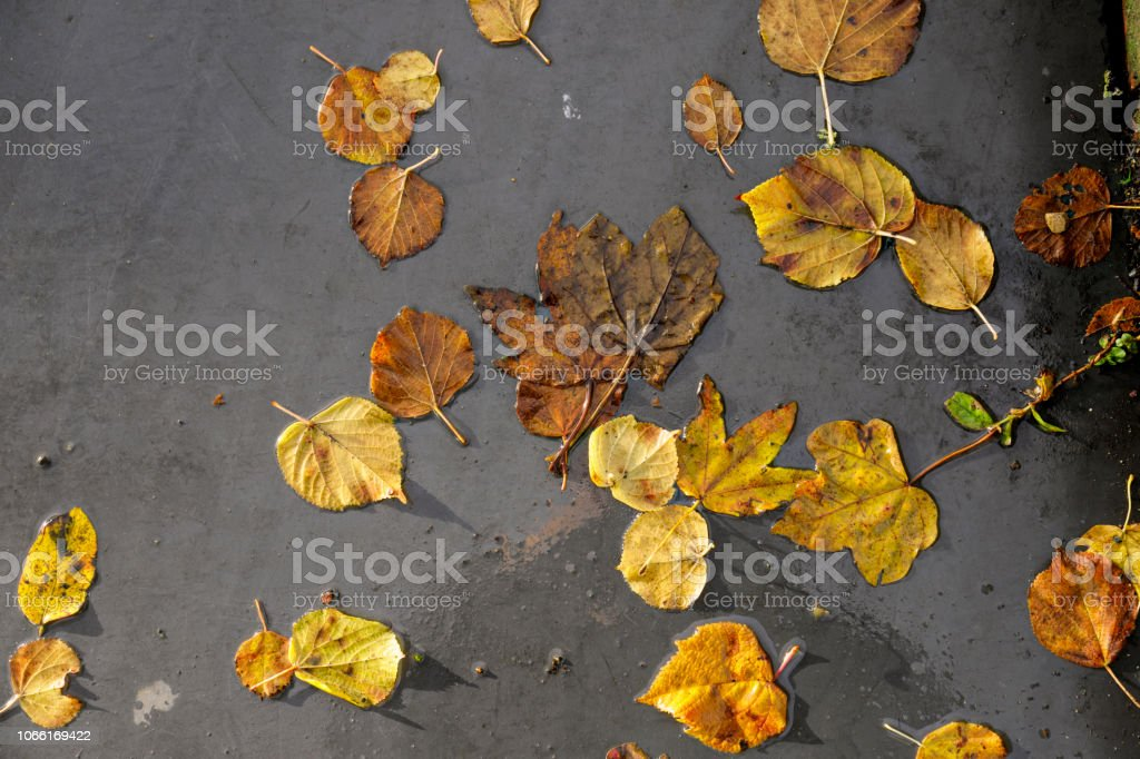 Orange yellow autumn leaves of field maple and small-leaved lime stock photo