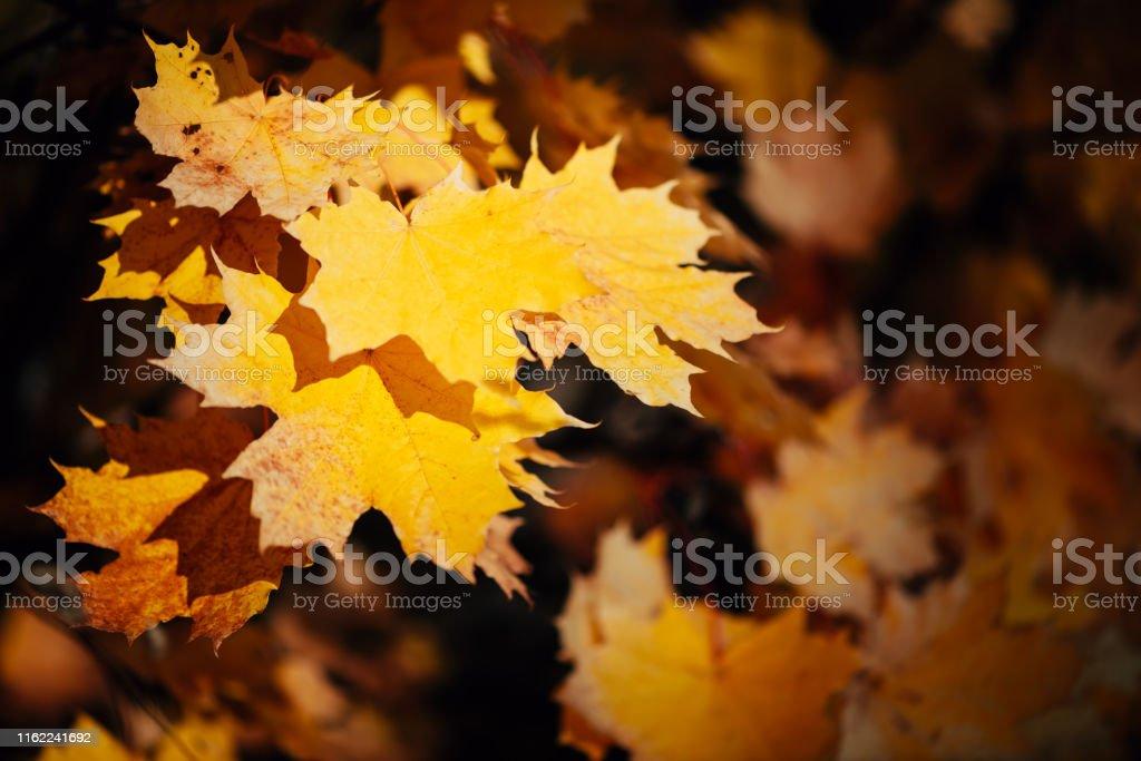Orange yellow autumn maple leaves close-up. Colorful maple tree on...