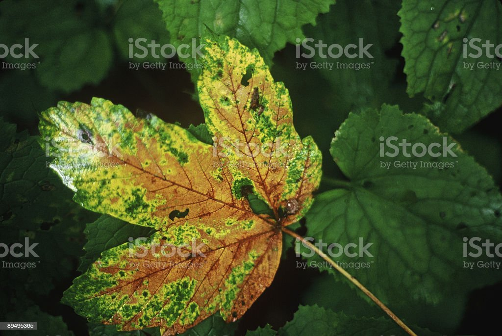 orange yellow green leaf royaltyfri bildbanksbilder
