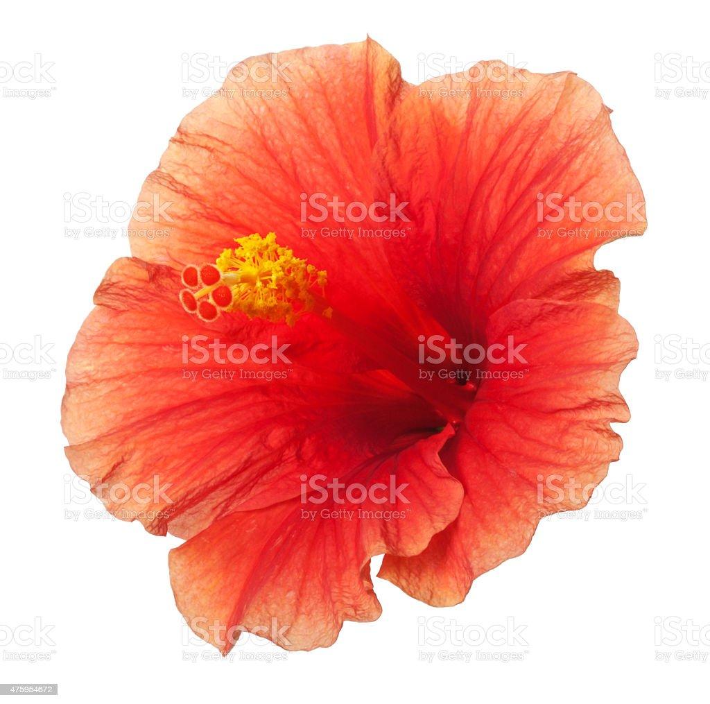Orange Yellow Hibiscus Tropical Flower Isolated on White stock photo